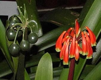 Clivia Robusta Very Rare Quart Plant FREE SHIP