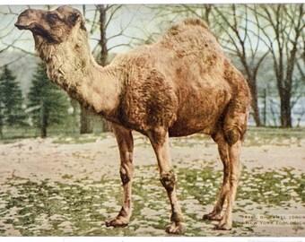 camel New York Zoological Park 1906 unused postcard