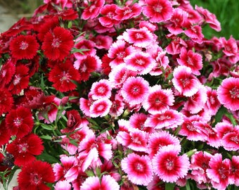 Sweet William Mixed Colors Wonderful Aroma  Fresh seeds 0.40gr