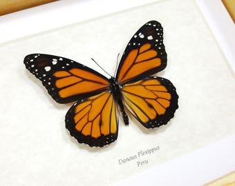 FREE SHIPPING Framed Real Monarch Butterfly Danaus Plexippus Taxidermy High Quality A1 #02