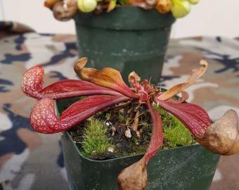 Carnivorous plant Sarracenia species Psittacina normal or f.heterophyllabare root dorment rhizome