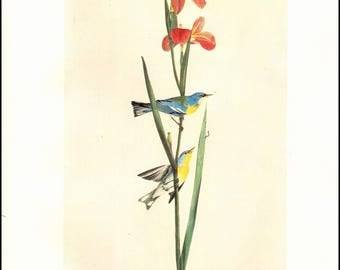 Parula Warbler Plate 10 painted by J J Audubon for Brids of America. Page is approx. 10 inches wide and 13 inches tall.