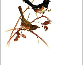 "Rufous-Sided Towhee painted by J F Landsdowne. Birds of the Eastern Forest. The page is approx. 9.5"" wide and 13"" Tall."