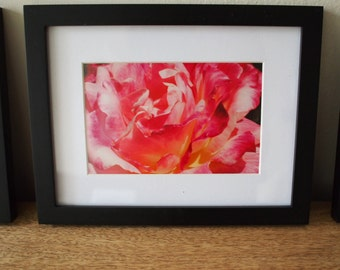 Limited Edition Framed Photograph - Rosa Mundi