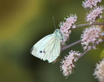 Butterfly, Insects, Close up, Photography Print