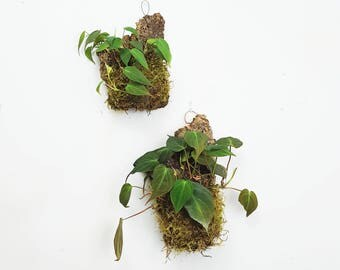Philodendron Micans Bark Mount