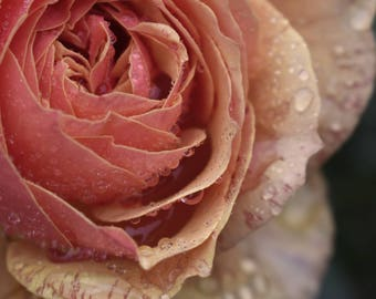 Rose/Flower Photography/Digital Download/Nature Photography/Peach Rose