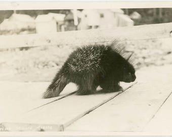 vintage photo 1920 Porcupine Looks at Camera Walking across Wooden Sidewalk RPPC