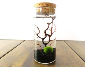 Marimo Moss Ball Terrarium Medium Corked Jar, Several Colors