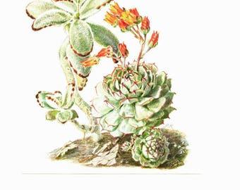 1958 Vintage succulent poster Kalanchoe French botanical print Echeveria Succulent print Plant poster Botanical art Succulent art Plant art