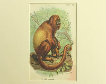 Antique Monkey print, Ape Primate Monkey, Red Howler, Lloyd's Natural History