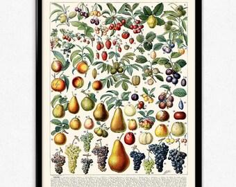 Fruit Illustration Vintage Print 2 - Fruit Poster - Fruit Art - Kitchen Decor - Kitchen Art - Home Decor - Botanical Science - Larousse
