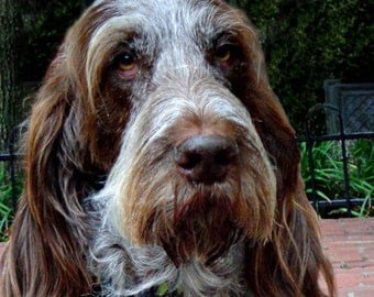 Spinone Italiana Notecards!!! Or any breed notecards packaged in plastic bag, 5 cards & envelopes. Free Shipping!