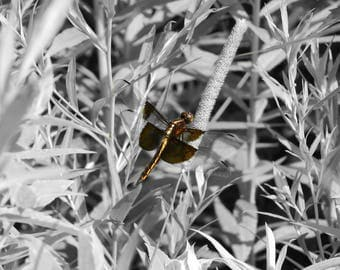 Photo - Dragonfly/Black and White/Gold/Nature/Wildlife/Bugs of Illinois/Widow Skimmer