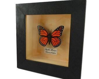 Cadre faux papillon monarque orange et noir façon étude entomologique, papillon en plastique peint (CD recyclé) encadré, fausse taxidermie