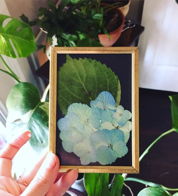 Blue Hydrangea Botanical Art- Blue and Red Real Pressed Flower Art - 4x5 Vintage Framed Flower Art- Small Flower Art- Hydrangea Art