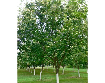 American Chestnut, Chestnut, Hybrid, 1 Gallon Potted Plant, Blight Resistant, Healthy, Vigorous, Bears Heavily Every Year, Strong Roots