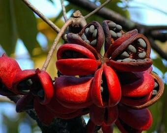 Sterculia Foetida Tree 5 Seeds, Java Olive, Wild Indian Almond, Multi Purpose Peon