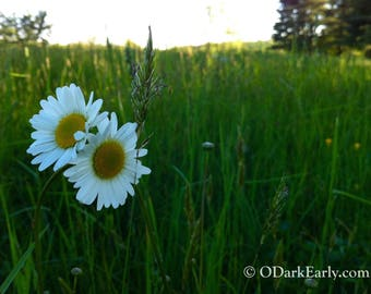Daisy Duet