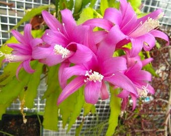 Disocactus nelsonni TROPICAL RARE Cactus Pink Flowers 5 Seeds #2007
