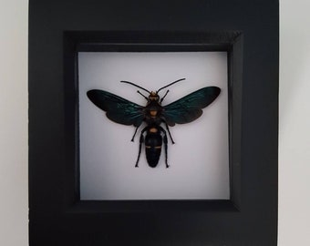 Real Taxidermy - Megascolia Wasp