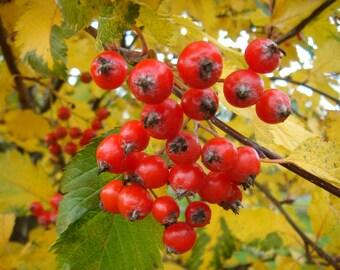 10 Seeds Sorbus austriaca