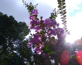 Purple Flowers with Sun Flare Photo