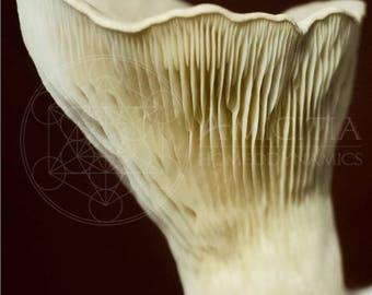 Organic King Oyster Sawdust Spawn (Pleurotus eryngii) LIVE MYCELIUM - 50g *PDF Book Included