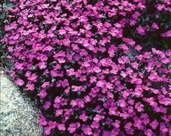 50+  AUBRIETA Whitewell Gem Rock  Cress  / Perennial /  DEER RESISTANT  Flower Seeds