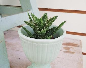 "Aloe juvenna Tiger Tooth Aloe 2"""