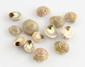 Set of 10 shells without hole 9 ~ 12 x 11 x 5 ~ 6.5 mm