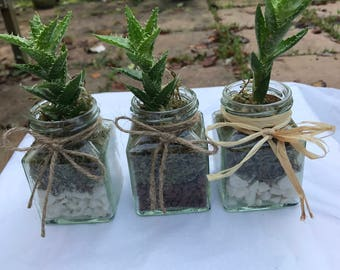 Aloe juvenna plant gift / favour in square glass jar