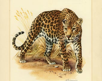 Vintage lithograph of the leopard from 1956