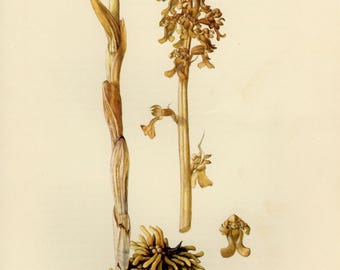 Vintage lithograph of the bird's-nest orchid from 1953