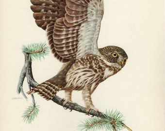 Vintage lithograph of the Eurasian pygmy owl from 1953