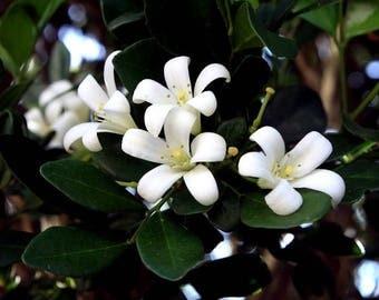 Jasmine Fragrance Oil - Soap fragrance oil - Scents for soap