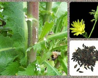 Wild/Opium Lettuce 10/25/50/100 Seeds ~Lactuca virosa~ Wild Lettuce Seeds