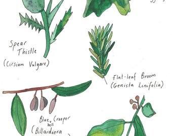 Watercolour Botanical Weeds Painting - Nillumbik Weeds