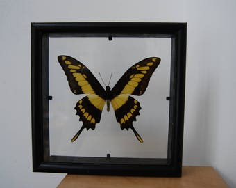 Thoas King Swallowtail Butterfly/Taxidermy/Insect