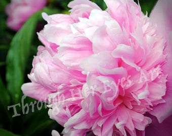 Light Pink Peony Flower Photo - Summer Flower Photography Wall Decor