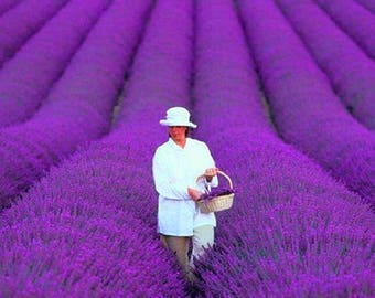 French provence Lavender - 200 seeds
