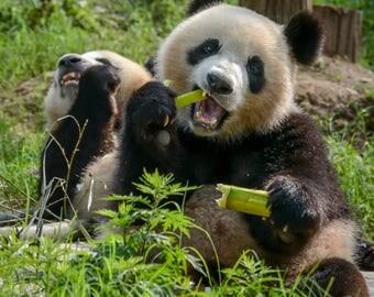 Giant Pandas in Chengdu China