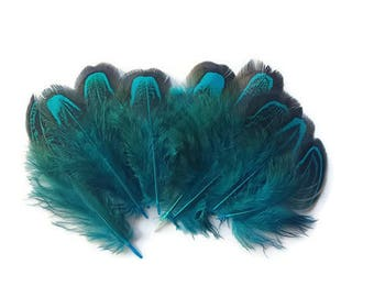 Turquoise pheasant feathers x 10