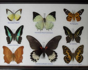 REAL 8 BEAUTIFUL Framde Butterfly Shop For Sale Collections Gifts Taxidermy BF20M