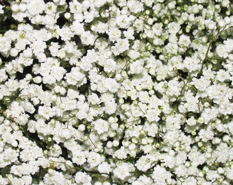 FREE SHIPPING! Baby's Breath Gypsophila - Pack of Seeds