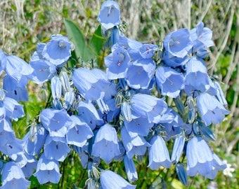 Blue Heirloom Canterbury Bells seeds, Campanula seeds, Perennial Flower Seeds, blue flower seeds