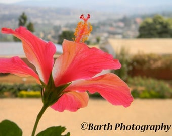 Artistic Photograph--Hibiscus Flower