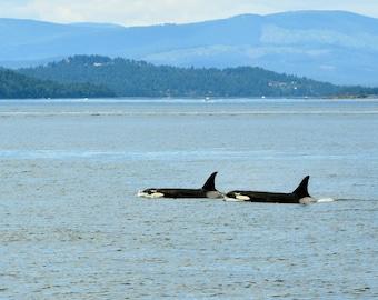 Orcas - San Juan Island - Washington