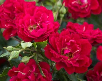 Red Drift® Rose Bush 3 Gallon