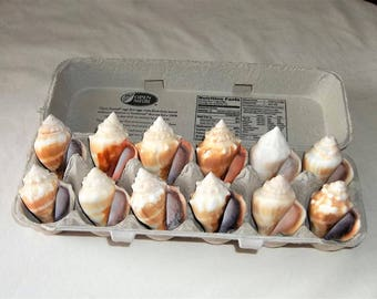 1 DOZEN Florida Juvenile FIGHTING CONCH Seashells Nautical Beach Decor Craft Supplies - Vintage Collected in the 1960's